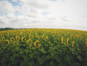 field of sunflowers - des moines drug rehab